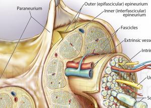 Peripheral Nerve Anatomy with Paraneurium Thumbnail